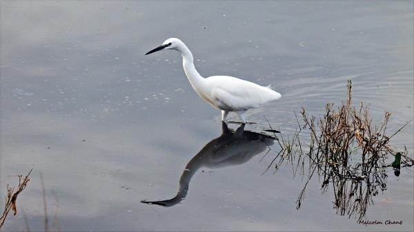 Egret by mrcoradour