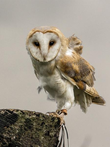 Barn Owl - Tyto alba by Alan1297