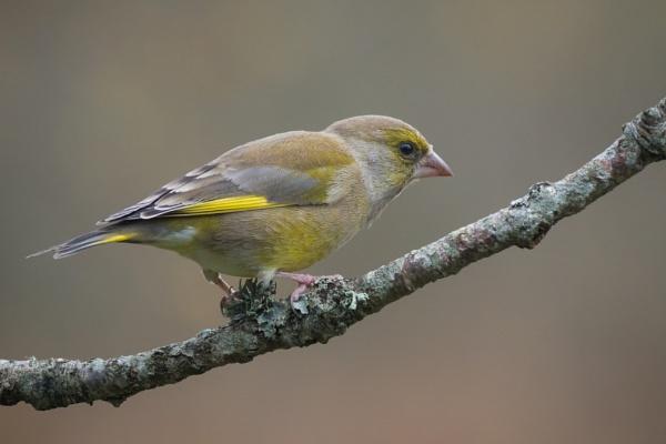 Greenfinch by PaulM888