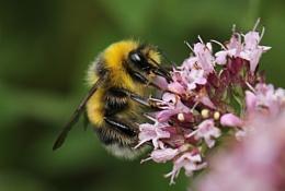 Garden Bumblebee (B. Hortorum)