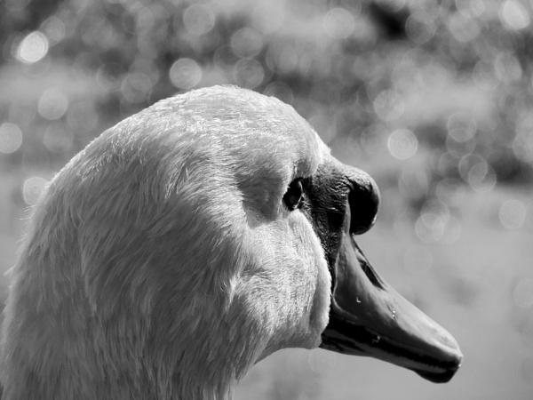 Swan cam by steve_i