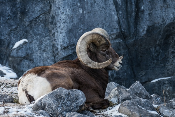 Bighorn Sheep by StrayCat