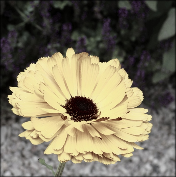Sweet Little Daisy by Philip_H
