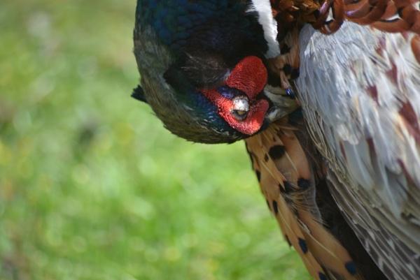 pheasant by cdnikon