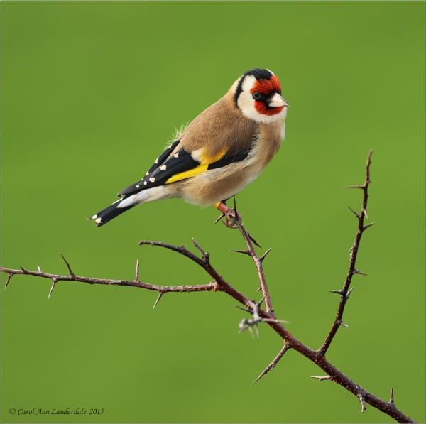 Goldfinch by CarolAnnLauderdale