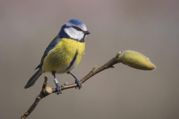 Blue Tit by PaulM888