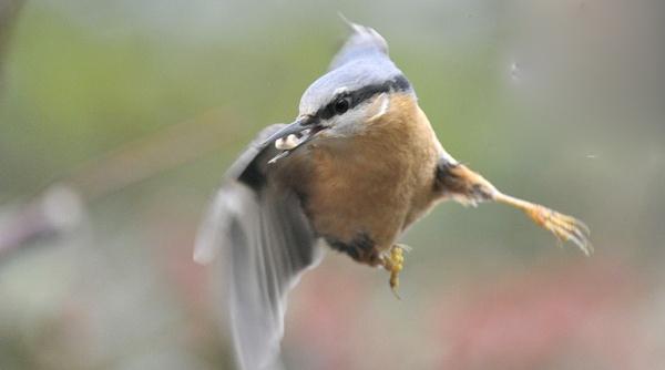 Nuthatch in Flight by robertsnikon