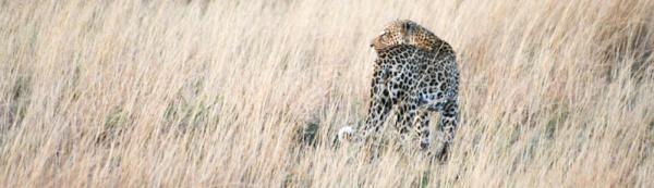 Leopard by Skull