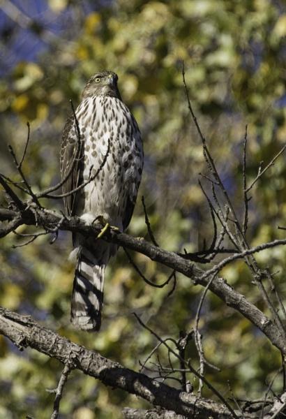 Watchful Hawk by pokeyb