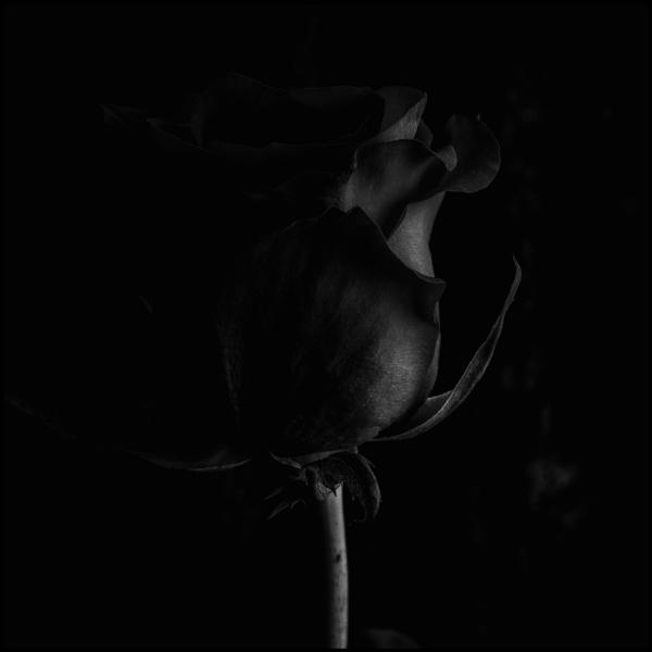 Dark Rose by dwilkin