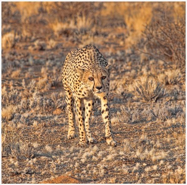 Cheetah by HenB