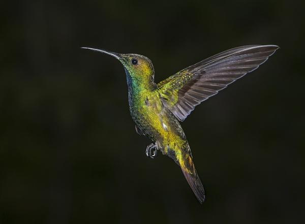 Green-breated Mango Hummingbird by Jamie_MacArthur