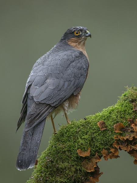Sparrow-hawk by Jamie_MacArthur