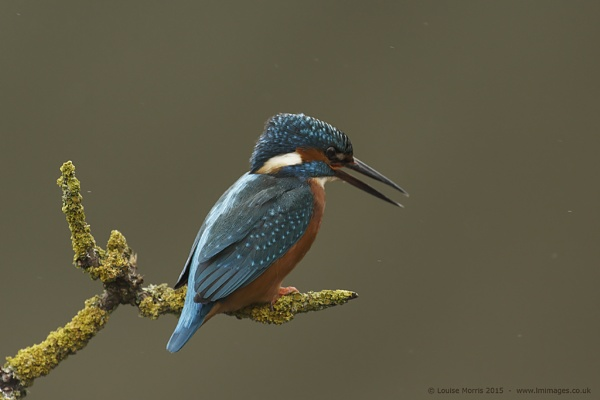 Rainy Kingfisher by Louise_Morris