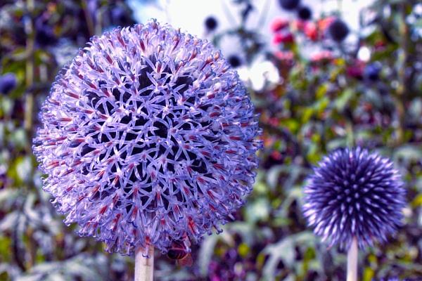 Globe Thistle Flower by Simon_Marlow