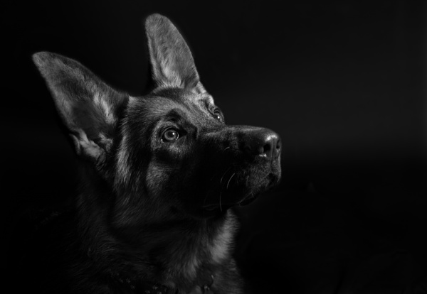 Inka the German Shepgerd by CumbriaDogTraining