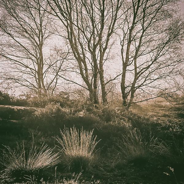 Split Birch by gerainte1