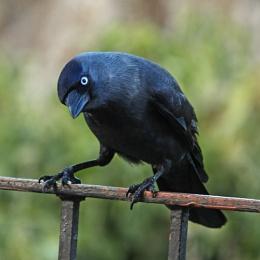 Jackdaw--Corvus monedula.