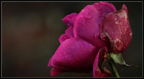 December Rose by Morpyre