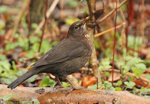 Blackbird (f) December 2015 by BirderTone