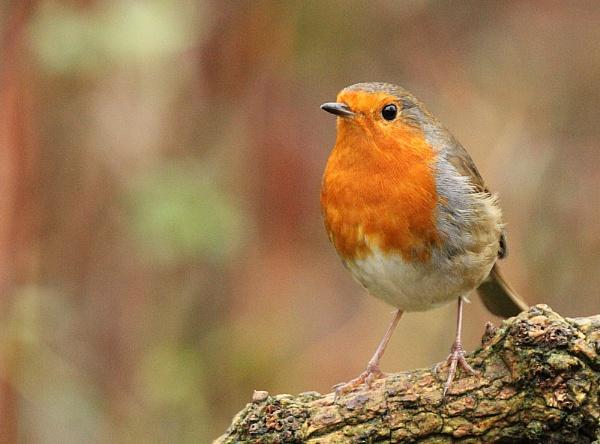 Robin No.2, December 2015 by BirderTone