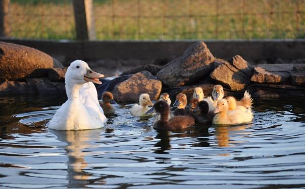 Proud mummy duck by HelenMarie