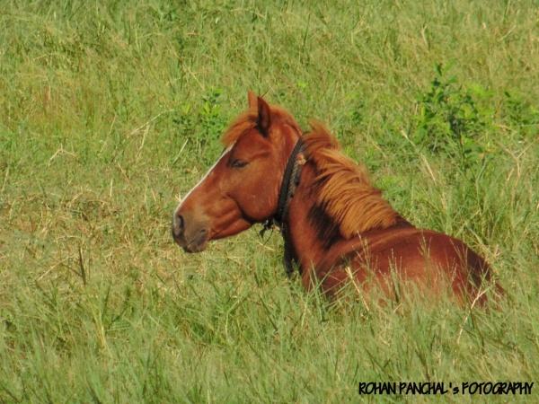 Indian Horse in Grassland