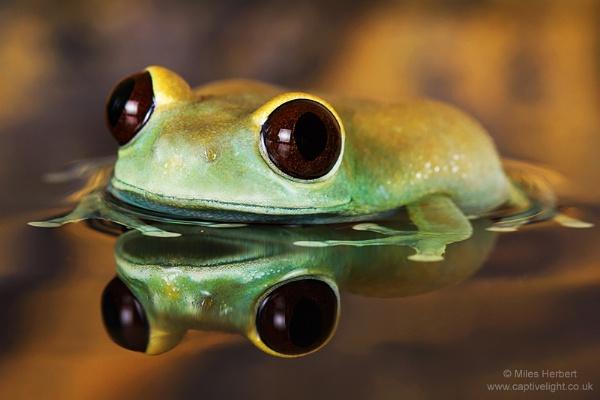Ruby Eye Tree Frog by Miles Herbert