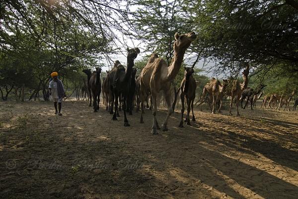 Camel trader by pp_saha