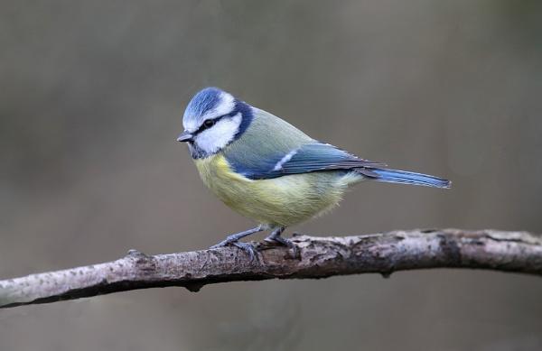 Blue Tit by HenB