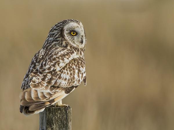 Short-eared Owl by Jamie_MacArthur
