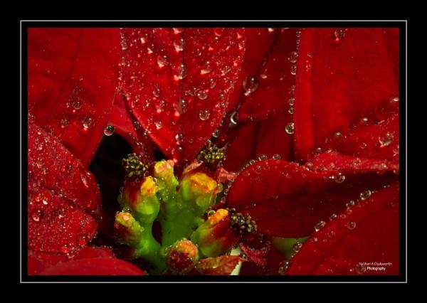 Sodden Poinsettia by NDODS