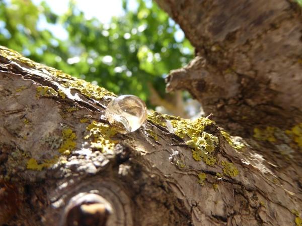 Tears of a tree.... by Chinga