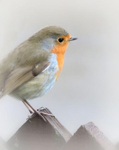 Christmas Robin by steve_i