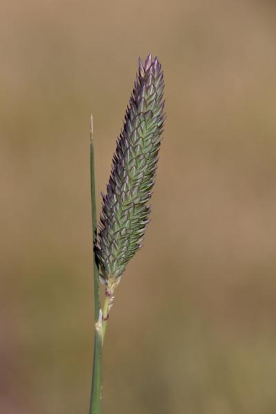Weed flower by Ayoob