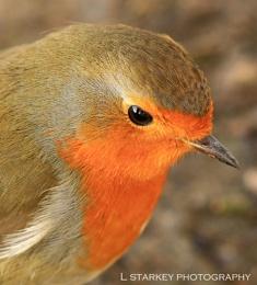 The eye of a Robin