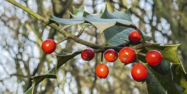 Winter Berries by steveo12