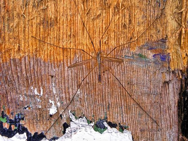 Tipulidae, Crane Fly by inkarts