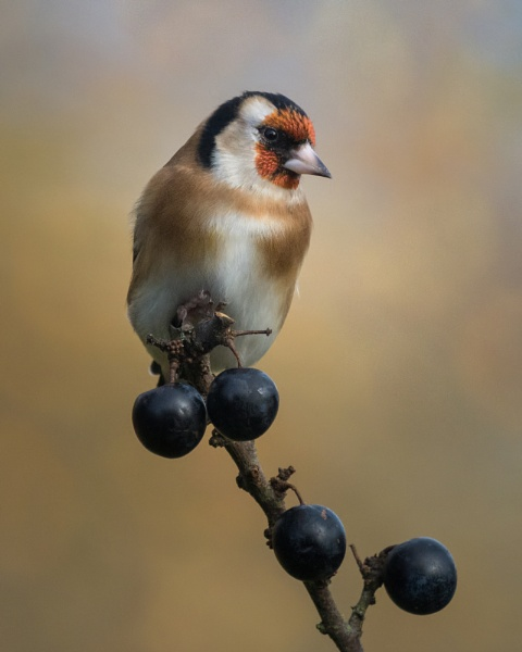 Goldfinch by PaulM888