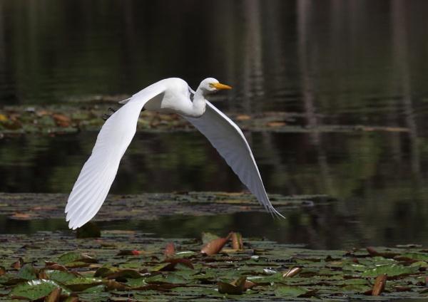 Intermediate Egrets in Flight by NeilSchofield
