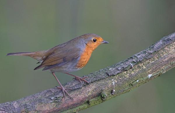 Robin by HenB