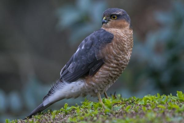 Sparrowhawk - Storm Desmond by richmowil