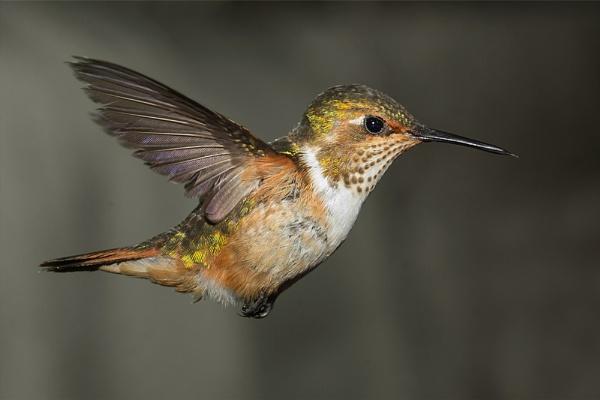 Scintillant Hummingbird by Jamie_MacArthur