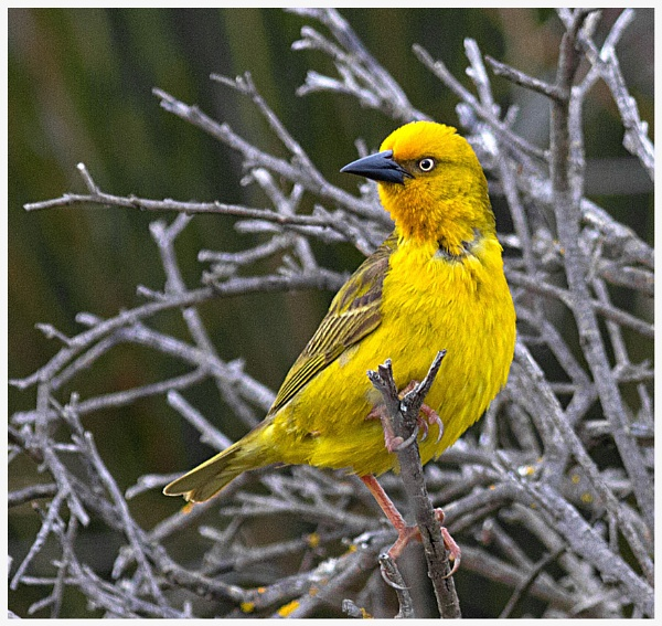 Yellow birds by accipiter
