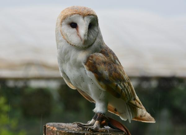 Barn Owl. by eddie1