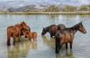Wild Horses of Cold Creek, Nevada by glazzaro