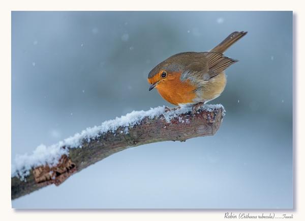 Christmas Robin by teocali