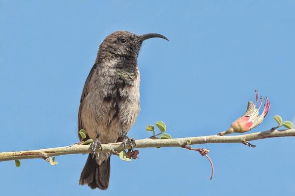 Dusky Sunbird by HenB