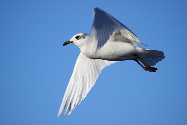 2nd winter Mediterranean Gull by saltholme