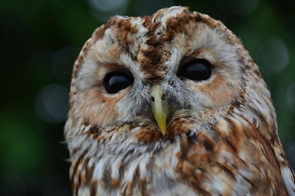 Barn Owl by eddie1